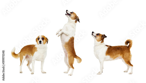 dog standing on its hind legs Wallpaper Mural