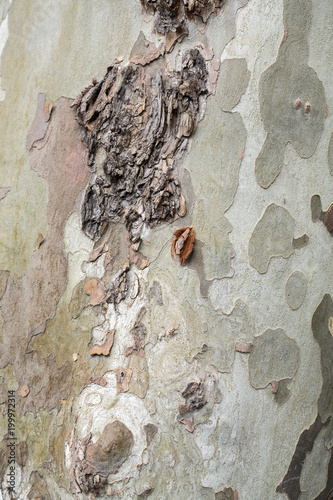 Foto  Bark and trunk of a London plane tree,