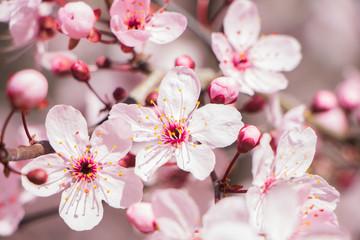 Obraz na Szkleflor de cereza