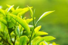 Leaf Of Tea On A Tea Plantatio...
