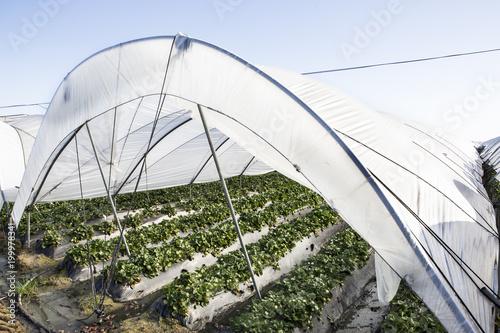 cultivo de fresas en invernadero con estructuras de hierro y plásticos de protección
