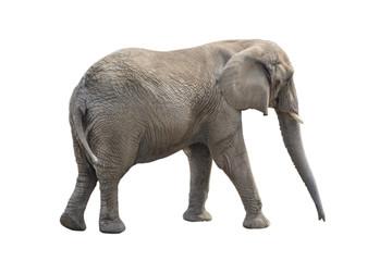 Big gray elephant isolated on white background.