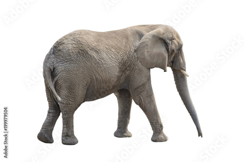 Fotobehang Olifant Big gray elephant isolated on white background.