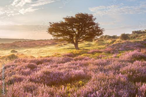 Fotomural Autumn/fall heather Porlock common exmoor somerset uk