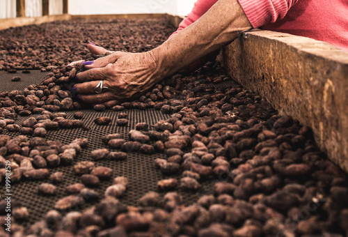 Photo Manos con grano de cacao