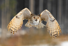 Eastern Siberian Eagle Owl Flying In Winter. Beautiful Owl From Russia Flying Over Snowy Field. Winter Scene With Majestic Rare Owl.