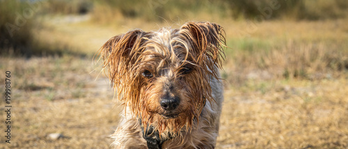 Photo  Dog portrait deep looking straight ahead while advancing challenging attitude with copy space, cute animal, Yorkshire Terrier brown