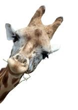 Giraffe Portrait, Giraffe Scha...