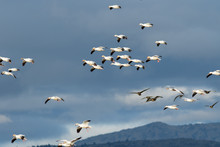 Snow Geese Migration