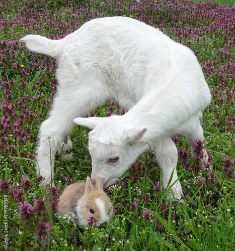 Bunny rabbit and goatling baby goat kid kiddy are best friends beautiful spring scene with flowers