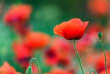 Single Poppy Flower With Poppy...