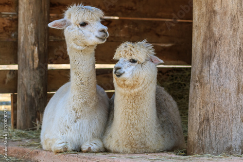 Garden Poster Lama The pair of alpacas lying down