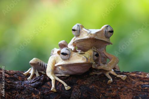 Tree frog, eared tree frog, Borneo tree frog