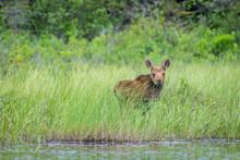 A Cute Young Moose Calf Standi...