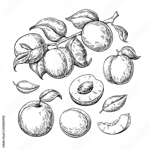 Tablou Canvas Apricot vector drawing set. Hand drawn fruit, branch and sliced