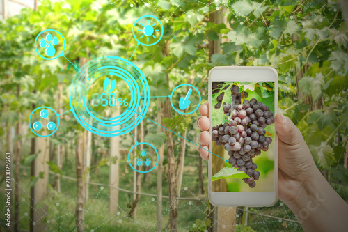 Fotografia  hand holding mobile phone inspecting grapes in agriculture garden with concept m