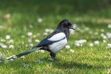Eurasian Magpie, Pica Pica, Beautiful Bird Standing On The Grass In Springtime