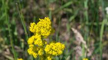 Yellow Bedstraw Or Galium Veru...