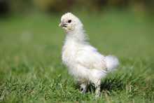 White Silk Chicken Walking In ...