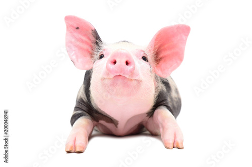 Portrait of a little cheerful pig, lying isolated on white background