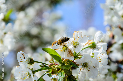 Honeybee collecting nectar from flowers of the cherry tree
