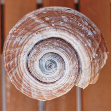 Spiral Shaped Sea Shell  Closeup