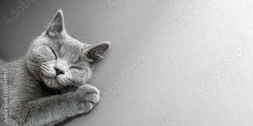 Fototapeta British Shorthair gray cat lying on grey background, with copy-space obraz