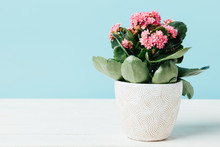 Close Up View Of Pink Kalanchoe Flowers In Flowerpot On Wooden Tabletop Isolated On Blue