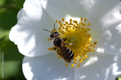 Aluminium Prints Bee Bee on a white flower. spring (summer) rose flower and bee.