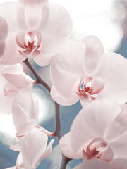 Panel Szklany Storczyki Tender pink phalaenopsis orchid on blurred background. Soft lovely flowers are seen in an artistic composition. Hybrid phalaenopsis, or moth orchid, is the most popular and easy growing orchid