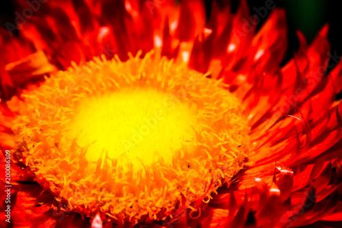 Fotobehang Pop Art core of a sunflower ornge and yellow colour super macro