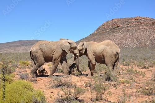 Fotografie, Obraz  Safari Elephant