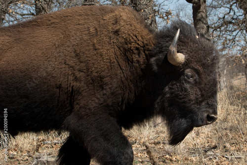 Poster Buffel American Bison in the Wichita Mountains