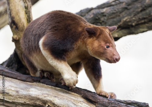 Close up view of a Goodfellow's tree-kangaroo (Dendrolagus goodfellowi)