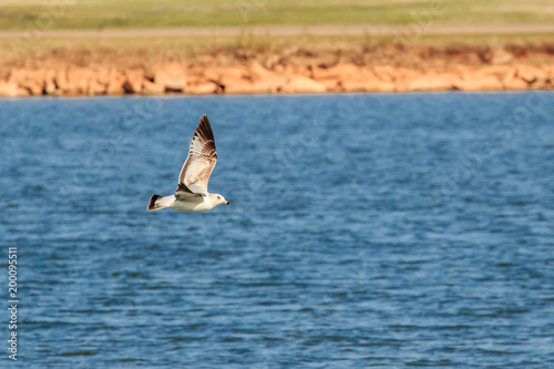Fotografering  Ring billed gull (Larus delawarensis) in flight