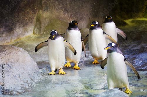 Пингвин. Этот вид пингвинов отличается белым пятном из перьев возле глаз.