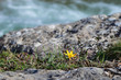 A lone flower of crocus on the edge of a cliff in the background of a river