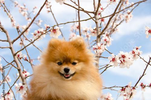 Fotografia, Obraz  Spitz, portrait of a beautiful dog against a blossoming almond tree