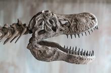 Tyrannosaurus Rex Skull. Clos...