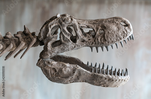 Tyrannosaurus rex skull.