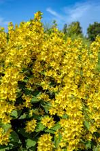 Beautiful Yellow Bells In Summer Garden.