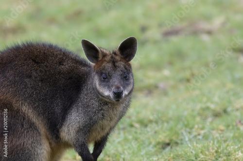 Deurstickers Kangoeroe swamp wallaby, Wallabia bicolor, head portraits while feeding on grass in a field.
