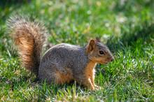 A Fox Squirrel Foraging For Food In A Suburban Yard