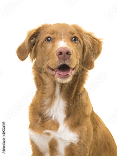 Poster Chien Portrait of a scotia duck tolling retriever dog with mouth open on a white background