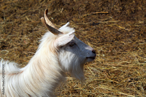 Head of goat Poster