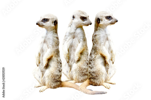 Fotografia, Obraz Three meerkats, standing together on hind legs, isolated on a white background
