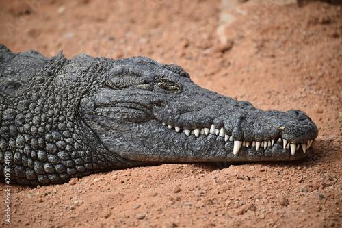 Foto op Aluminium Krokodil cocodrilo