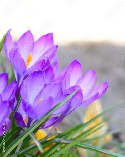 Poster Krokussen View of magic blooming spring flowers crocus growing in wildlife. Purple crocus growing from earth outside.