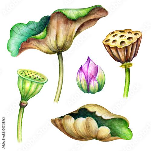 Foto  watercolor botanical illustration, green lotus leaves, flowers, oriental garden