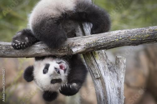 Photo sur Aluminium Panda Yuan Meng Baby panda cute